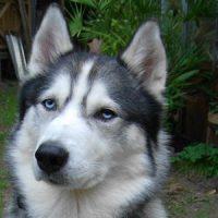 simba-hund